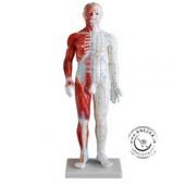 Akupunktúrny model muža so svalmi 60 cm NOVINKA