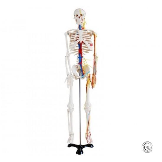 Stredne veľká kostra s nervami a cievami, 85 cm vysoká (m-102b)
